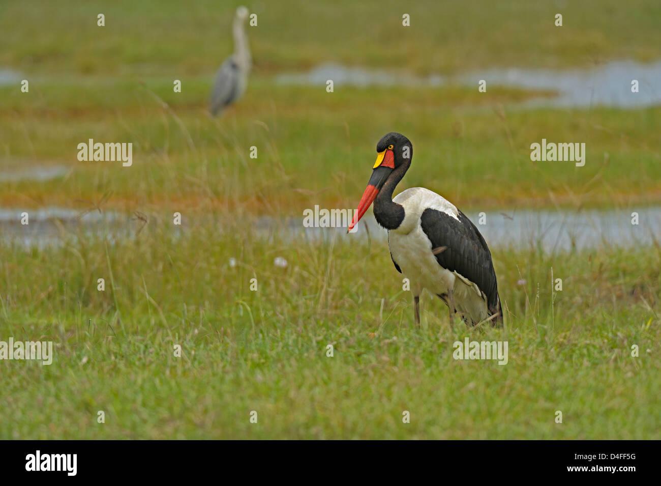 Sattel – abgerechnet Stork (Nahrung Senegalensis) in den Feuchtgebieten des Lake Nakuru Nationalpark, Kenia Stockfoto
