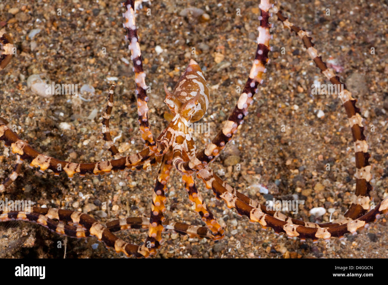 Mimic Octopus, Thaumoctopus Mimicus, Philippinen. Stockbild