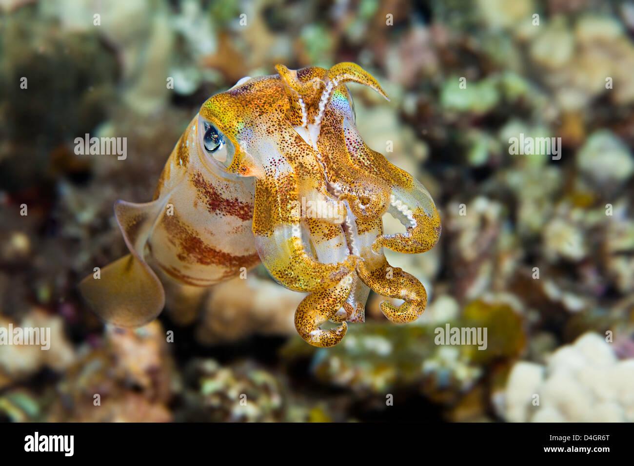 Die männlichen Oval Tintenfisch, Sepioteuthis Lessoniana, können 14 Zoll in der Länge erreichen. Stockbild