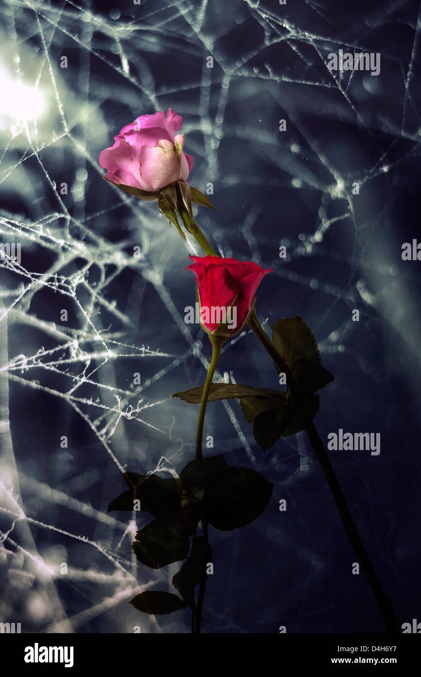 zwei Verwelkte Rosen mit coweb Stockbild