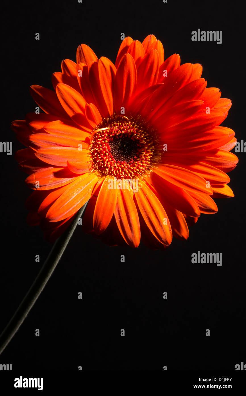 Gerber l stockfotos gerber l bilder alamy for Design von zierpflanzen