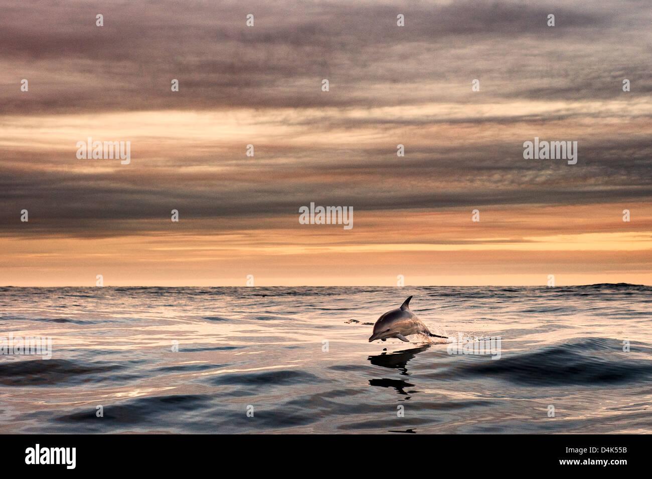 Delphin springen über Wasser Stockbild