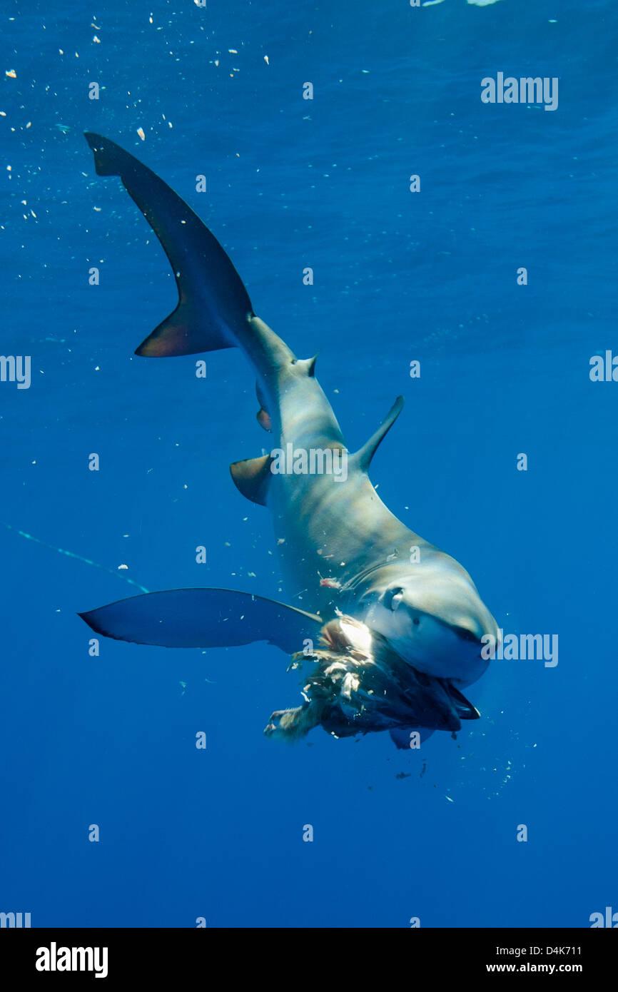 Blauhai Essen