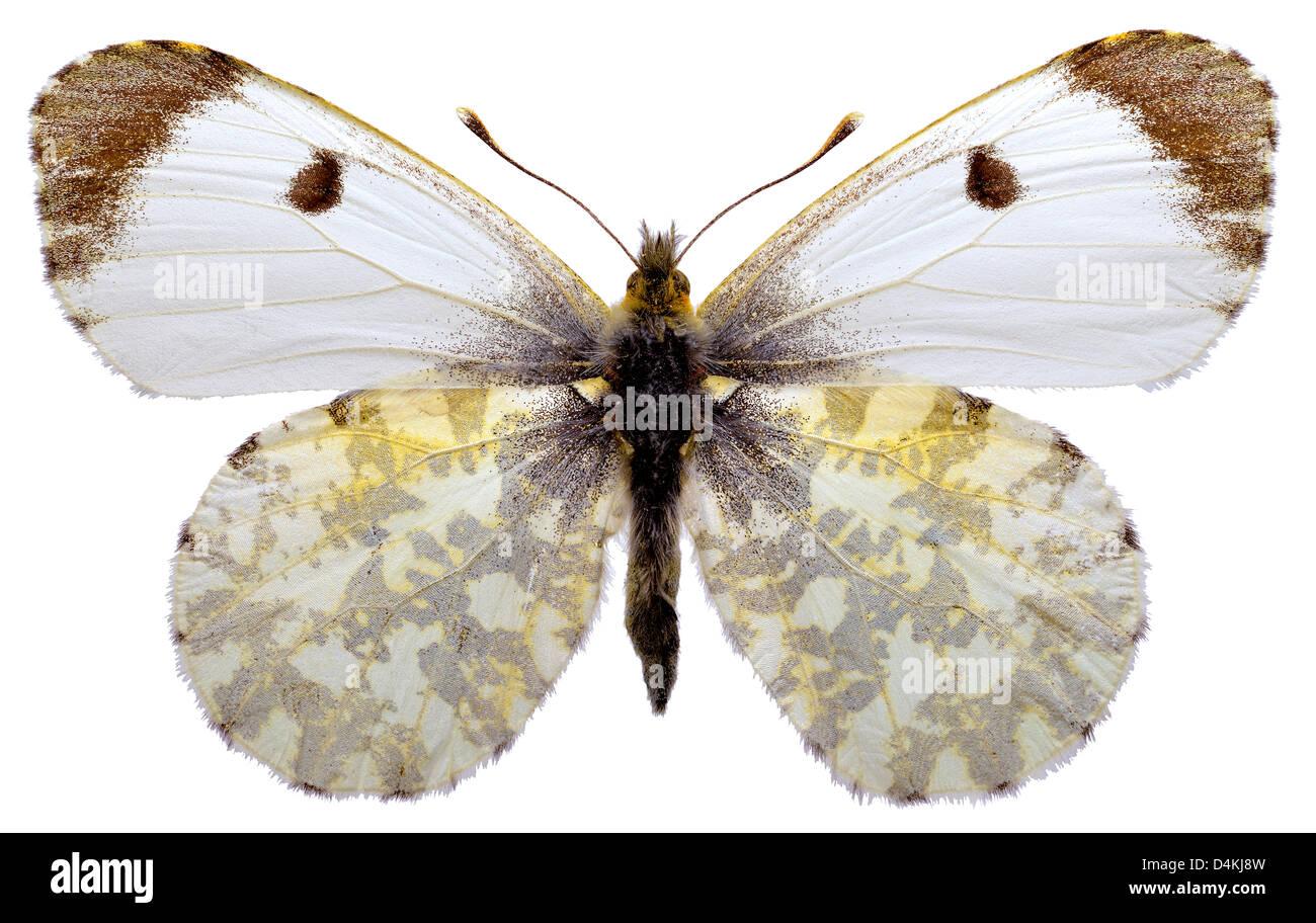 Weibliche Orange Tipp Schmetterling (Anthocharis Cardamines ...