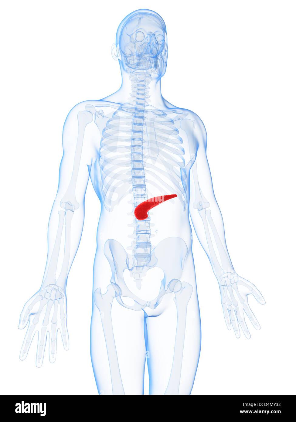 Fantastisch Pankreas Stelle In Körper Fotos - Anatomie Ideen ...