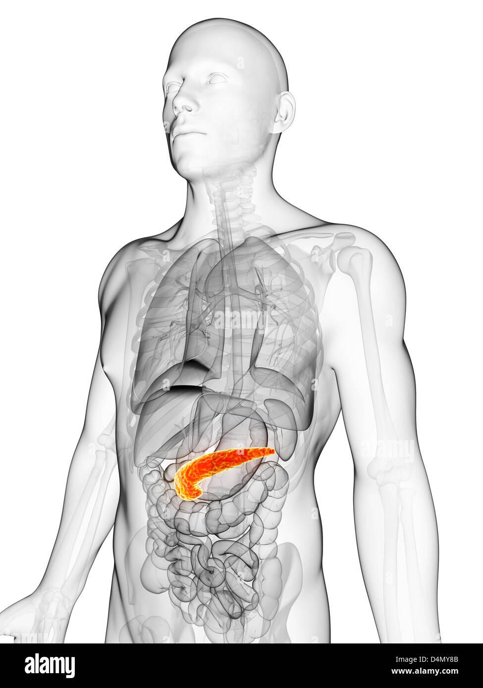 Groß Pankreas Stelle In Körper Zeitgenössisch - Menschliche Anatomie ...