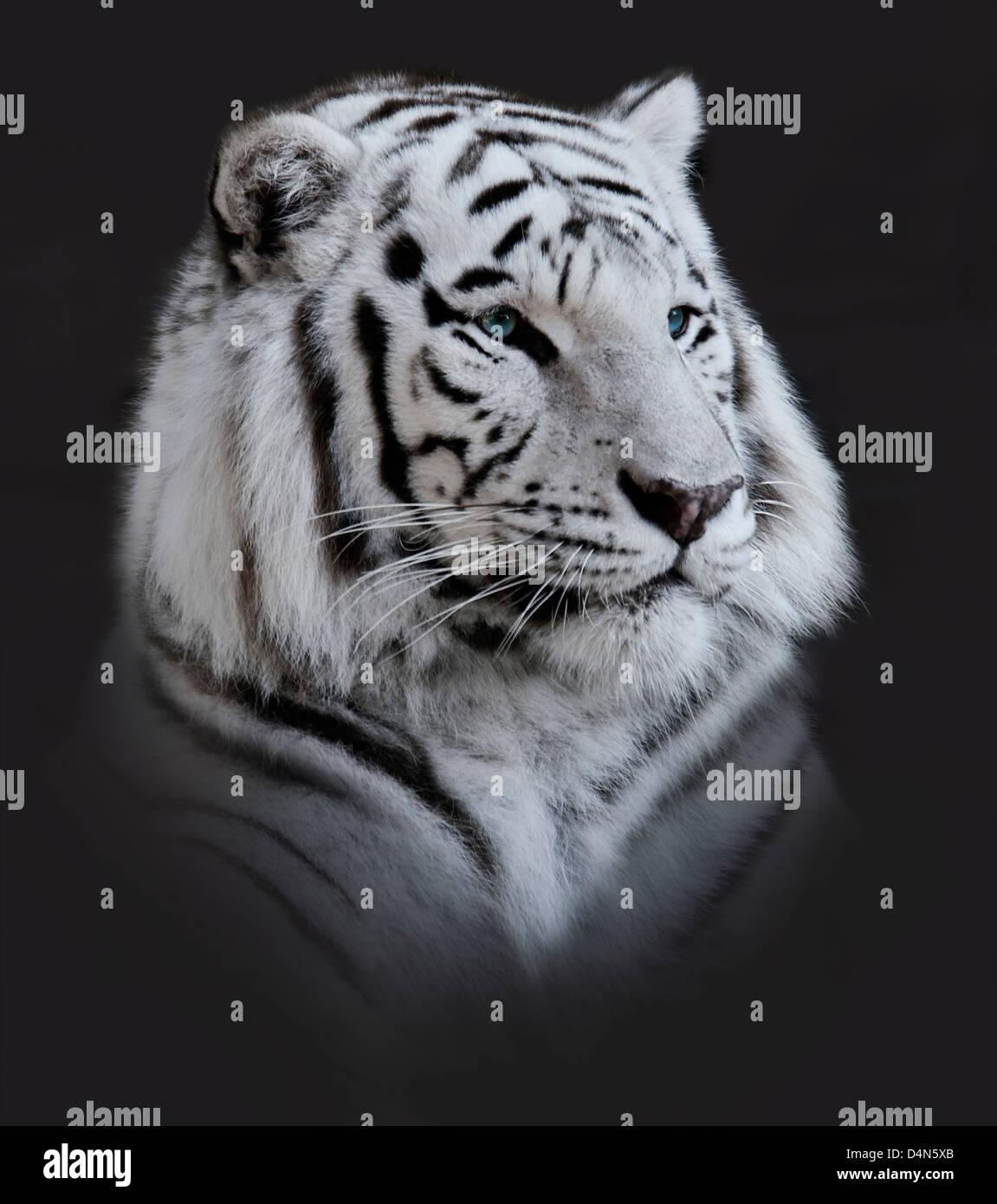 Weißer Tiger-Portrait auf dunklem Hintergrund Stockfoto