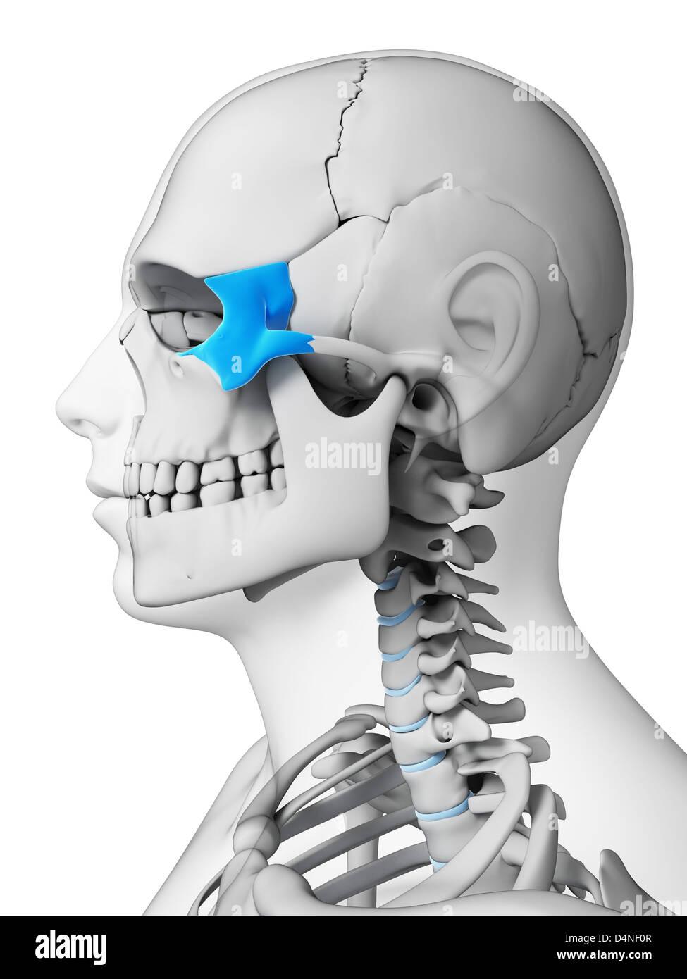 Zygomatic Knochen Stockfoto, Bild: 54562503 - Alamy