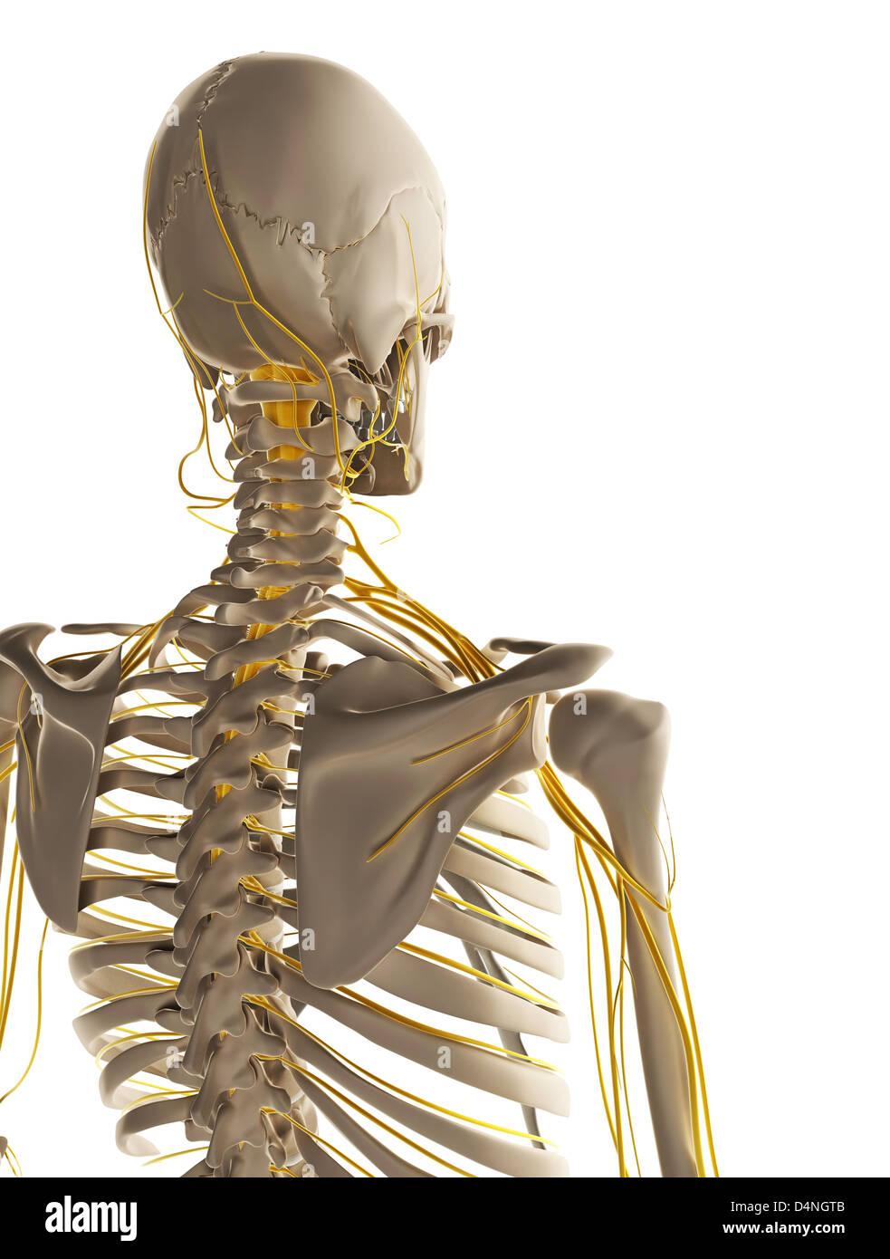 Großartig Die Anatomie Des Männlichen Fortpflanzungssystems Bilder ...