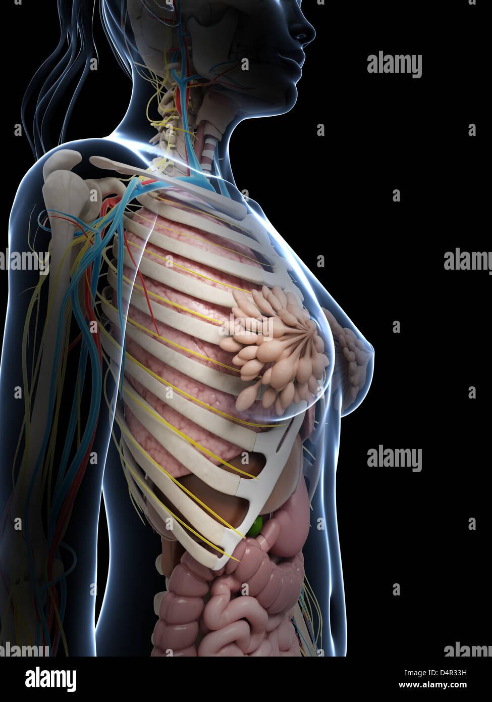 Fein Weibliche Anatomie Fortpflanzungssystem Diagramm Bilder ...