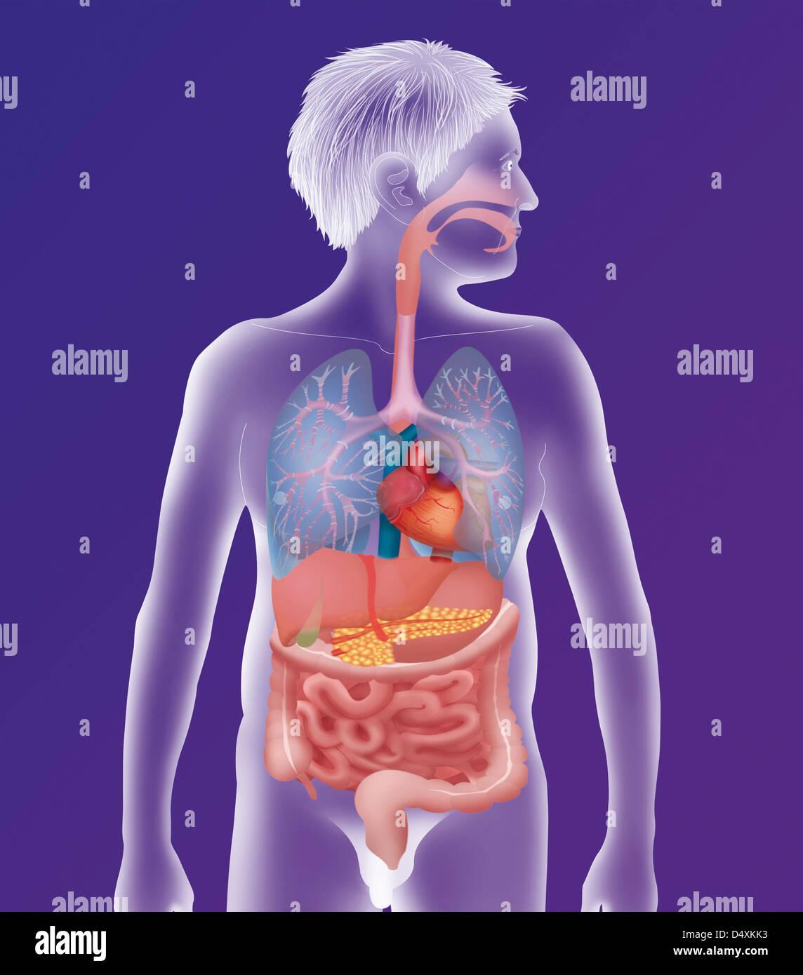 Großartig Anatomie Und Physiologie Antwortschlüssel Ideen ...