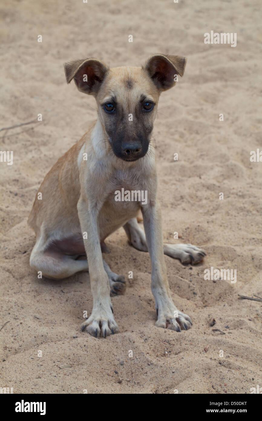 """Inländische Dorf """"Bush Dog"""" (Canis Lupus Familiaris). Hier in Guyana. Frei bis Hunde Mischling Abstammung. Stockfoto"""