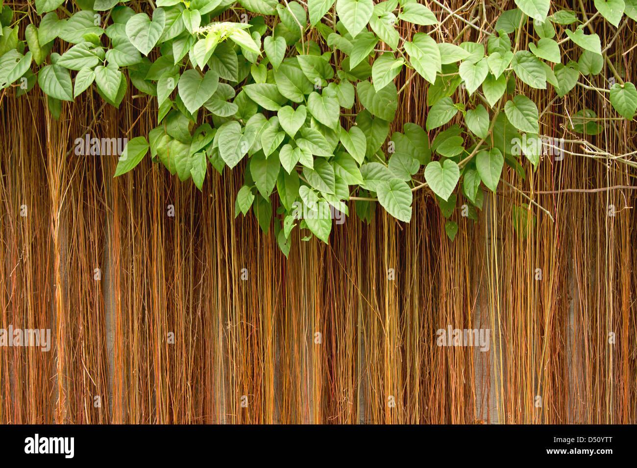 Natur Hintergrund, verlässt Rahmen, Reben (Cissus Sicyoides ...