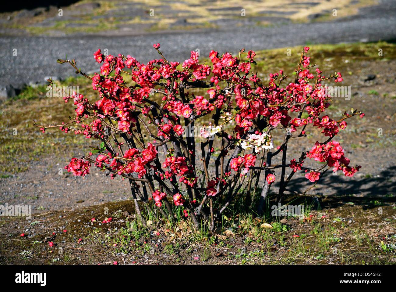 Miniatur-Pflaume-Baum in einem japanischen Garten Stockbild