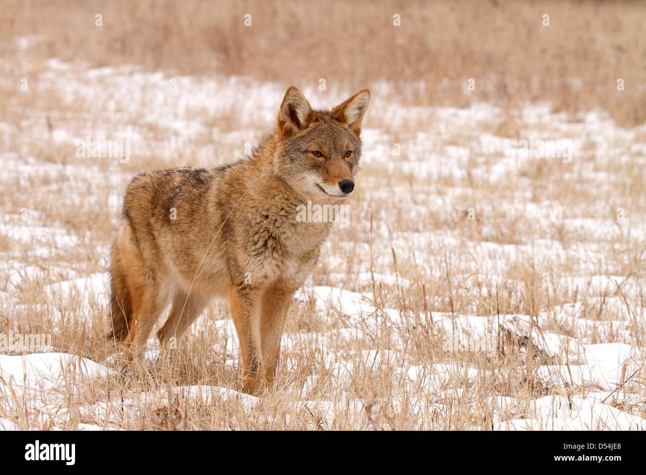Coyote, Canis Latrans stehen im Schnee Stockbild