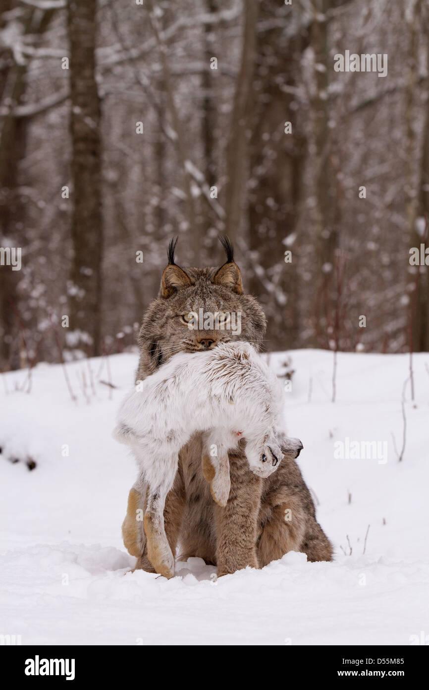 Kanada Lynx Lynx Canadansis im Schnee, mit Schneeschuh-Hase Stockbild