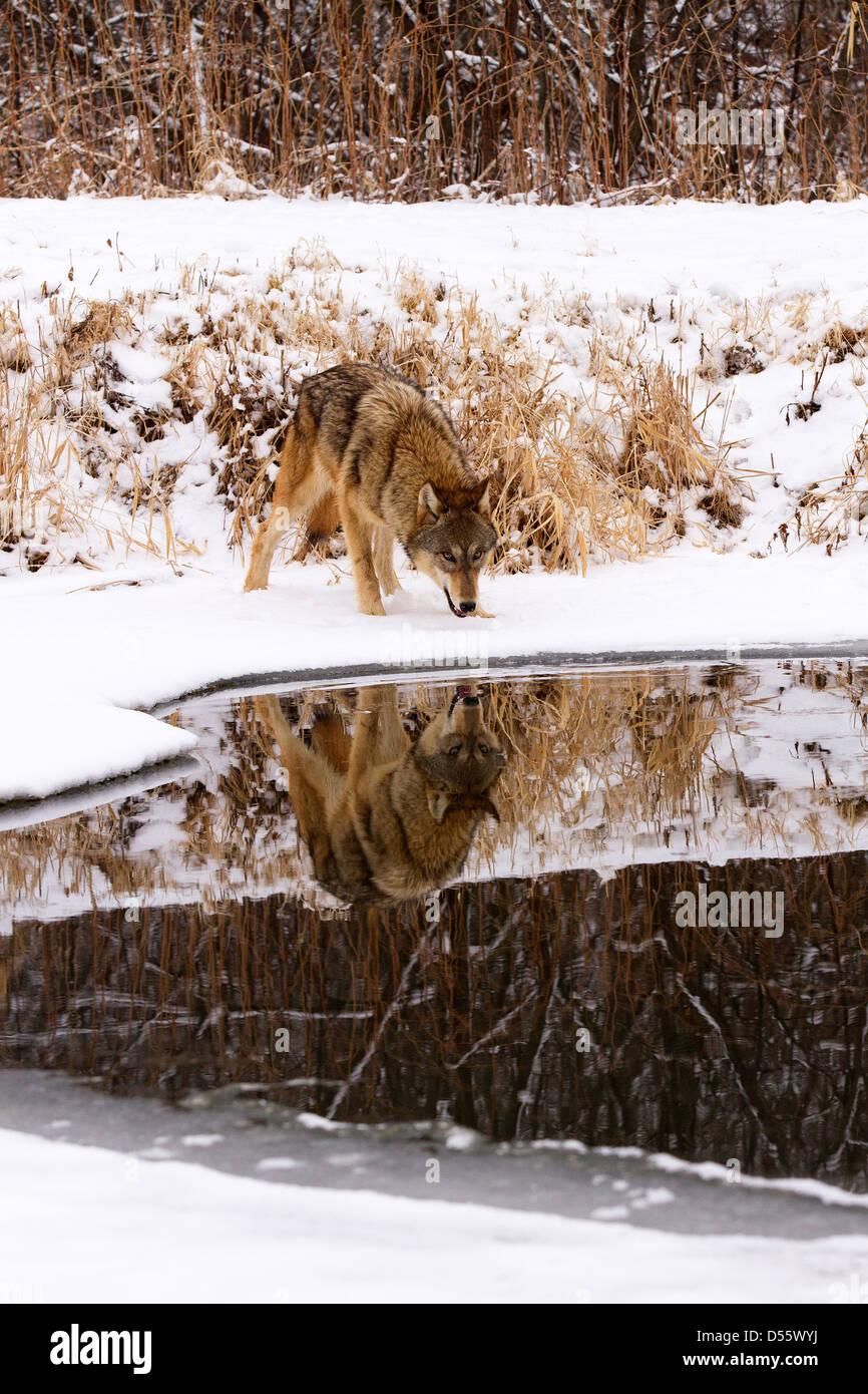 Grauer Wolf, Canis Lupus Spiegelbild im See Stockbild