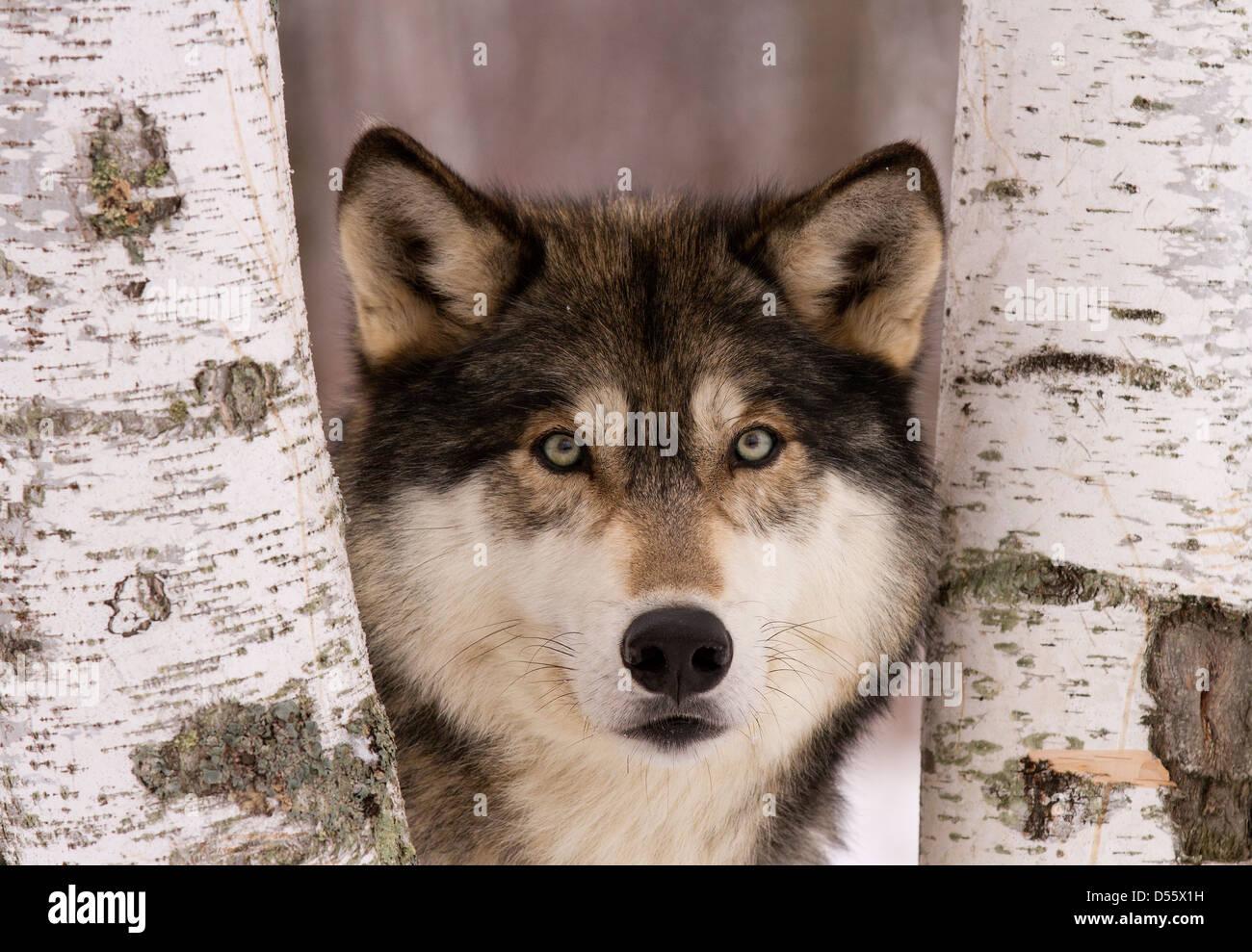 Grauer Wolf, Canis Lupus stehen zwischen den Bäumen Stockbild