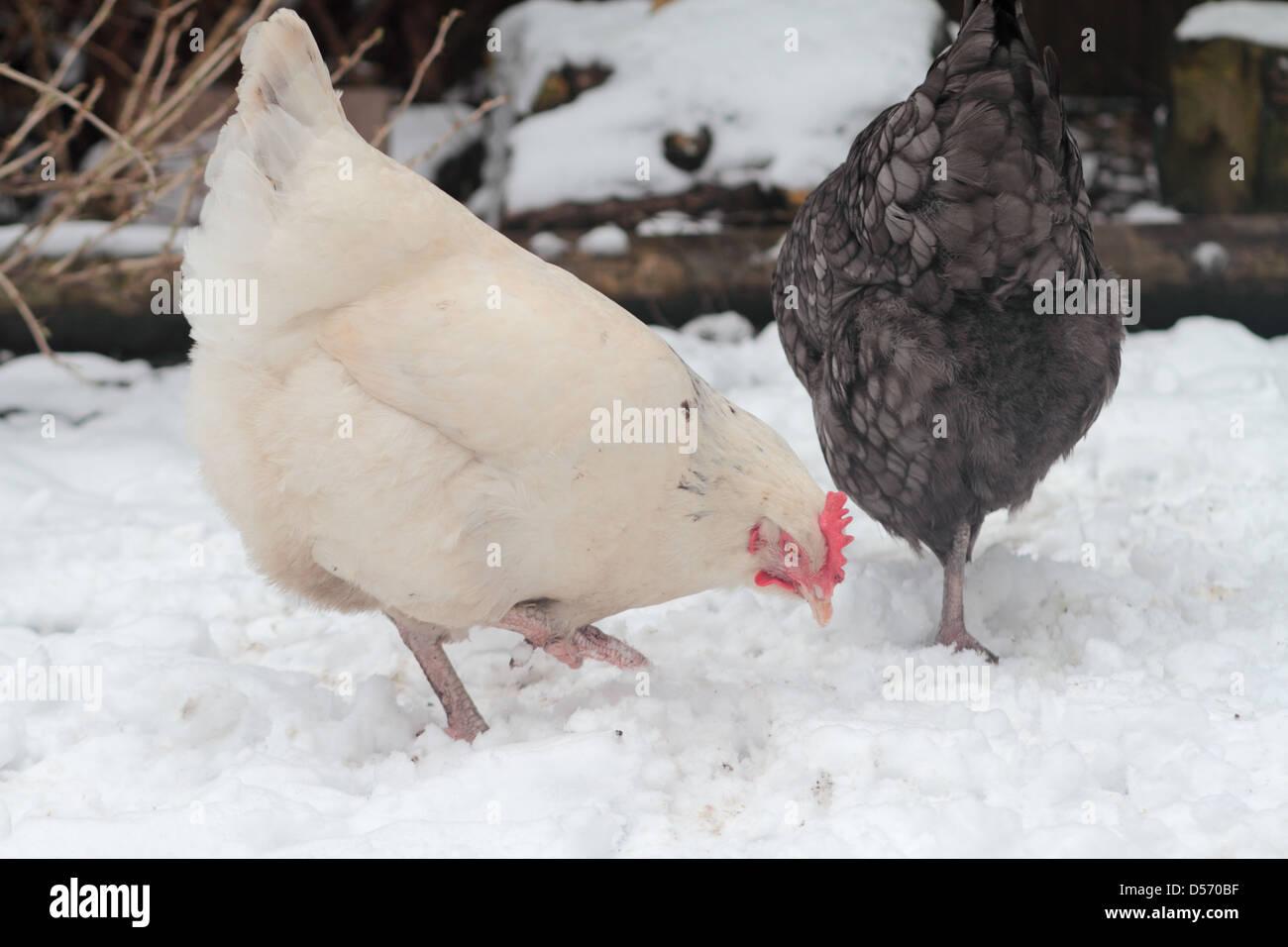 Leichte Sussex reinrassige Hühner im Schnee. Stockbild