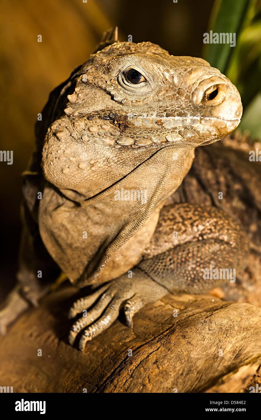 Kubanische Iguana, Cyclura Nubila, Kuba Stockbild