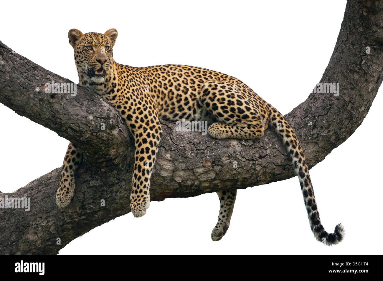 Männliche Leoparden ruht auf einem Ast eines Baumes Stockbild