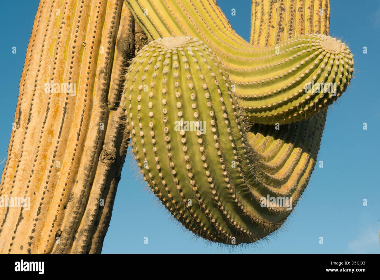 Saguaro Kaktus (Carnegiea Gigantea) Saguaro National Park, in der Nähe von Tucson, Arizona, USA Stockfoto
