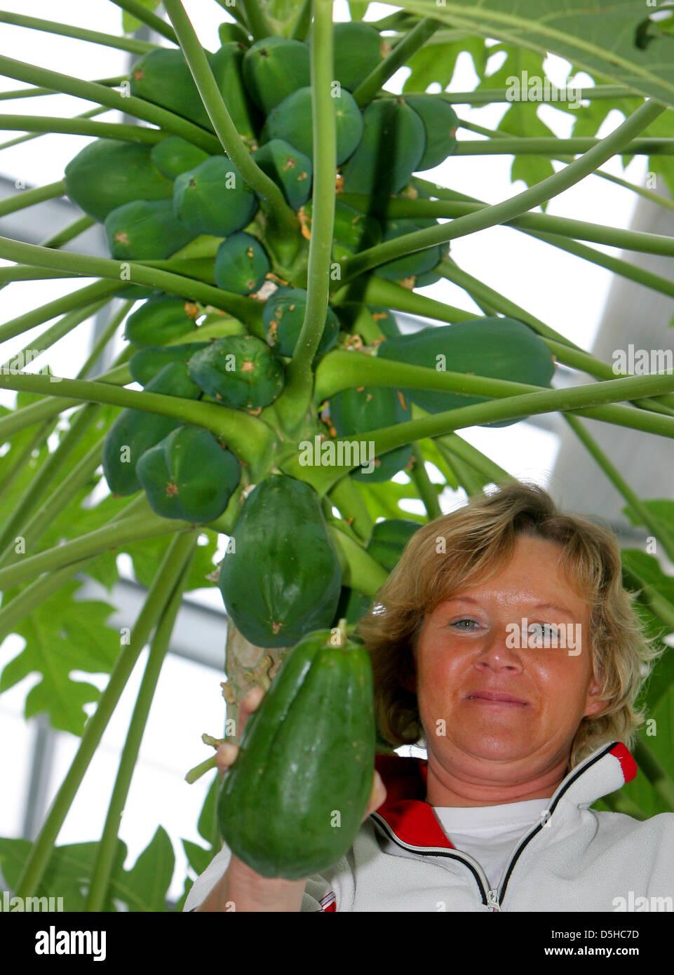 Sylvia Berndt Checkt Einen Papayabaum Im Tropischen Gewachshaus Der