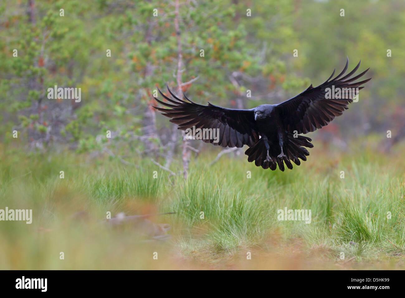 Raven (Corvus Corax) im Sumpf Wald, Europa Stockbild