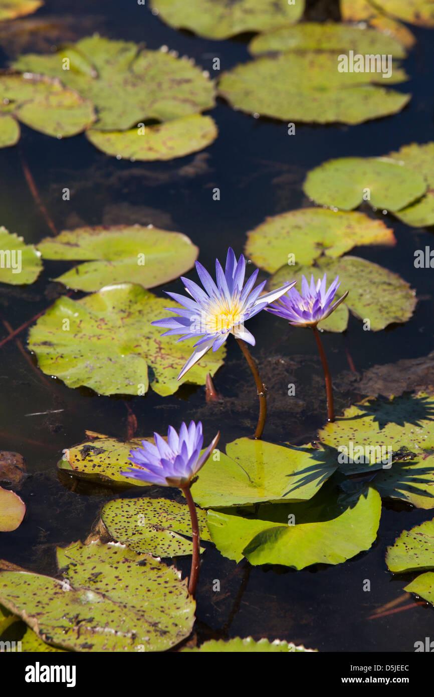 Madagaskar, Matsedroy See Wasser Lilien Stockbild