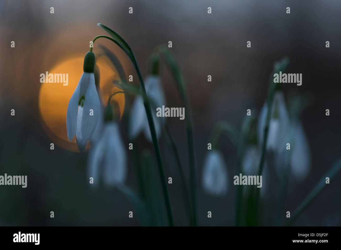 Österreich / Niederösterreich - Frühling blühende Schneeglöckchen im Nationalpark Donau Auen. Stockfoto