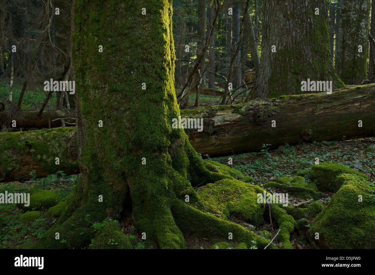 """Österreich / Niederösterreich / Ancient Forest reserve """"Neuwald"""" Stockfoto"""