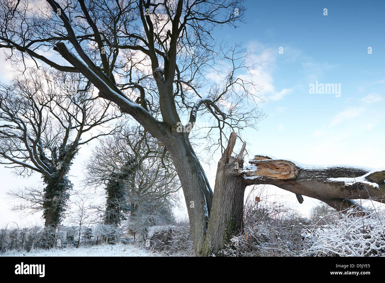 oak trees hedgerow in winter stockfotos oak trees hedgerow in winter bilder alamy. Black Bedroom Furniture Sets. Home Design Ideas
