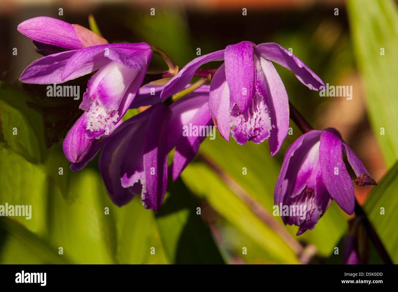 Chinese Orchid Bloom Stockfotos & Chinese Orchid Bloom Bilder - Alamy