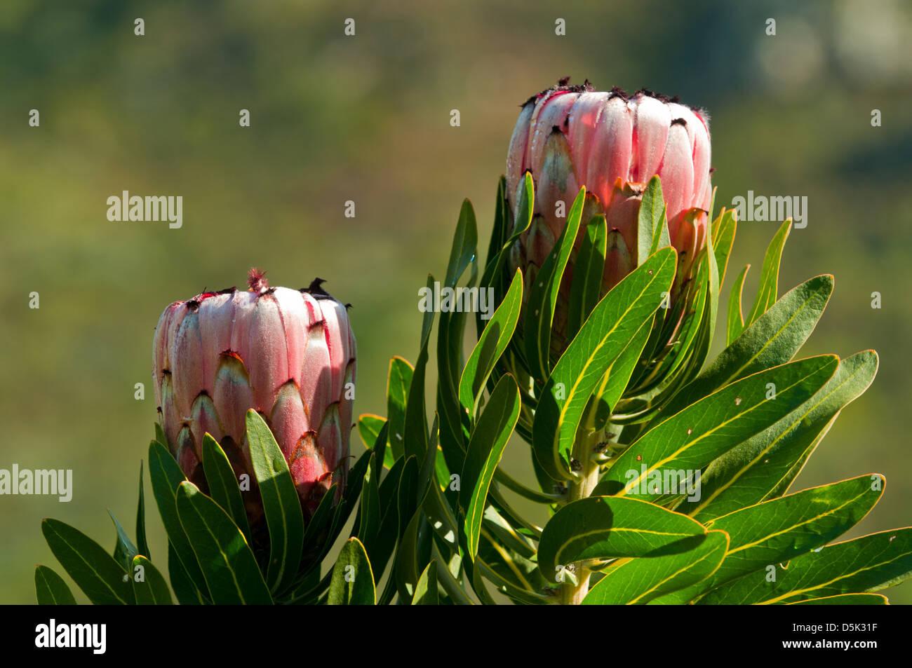 Pink Mink Flower Stockfotos Pink Mink Flower Bilder Alamy