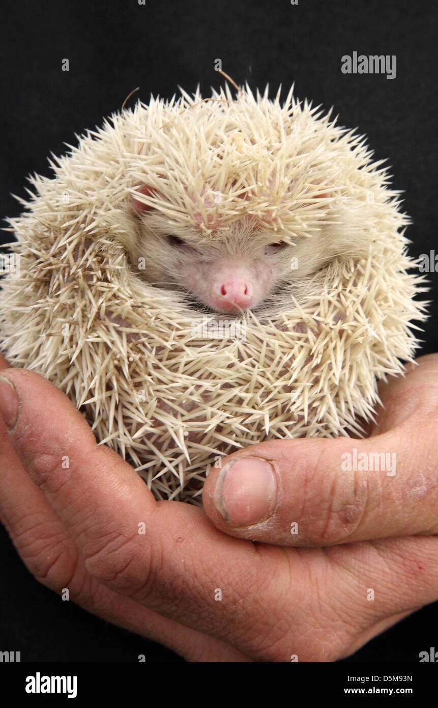 albino hedgehog stockfotos albino hedgehog bilder alamy. Black Bedroom Furniture Sets. Home Design Ideas