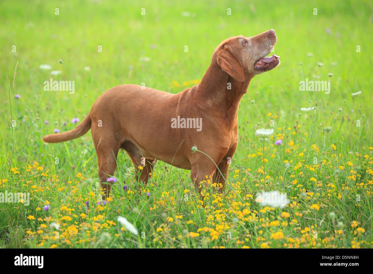 Vorstehhund Stockfotos & Vorstehhund Bilder - Seite 3 - Alamy