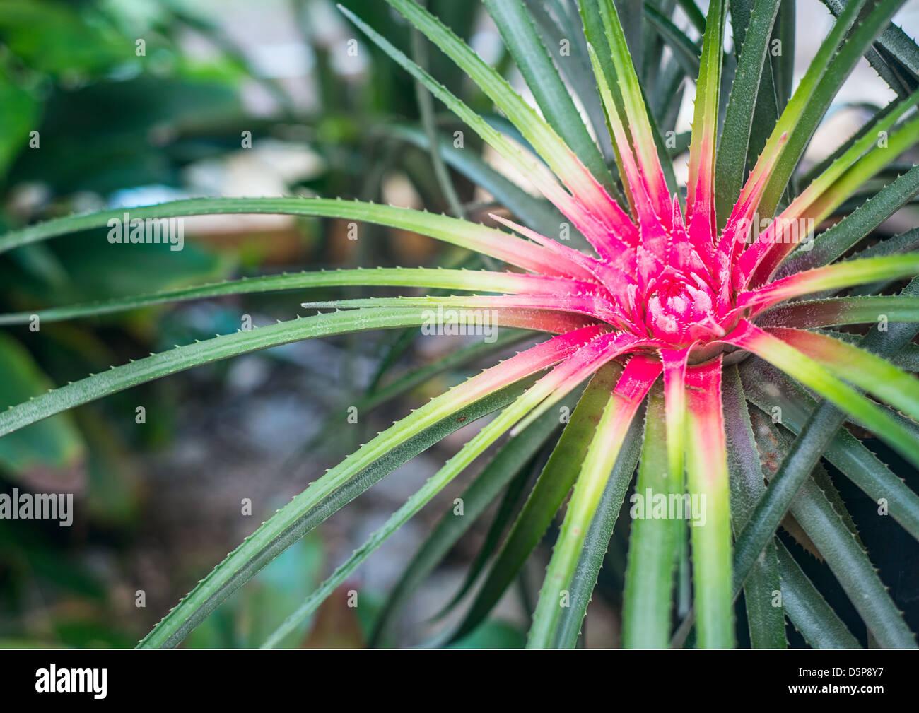 Bromelie im tropischen regenwald brasilien stockfoto bild 55194363 alamy - Epiphyten zimmerpflanze ...
