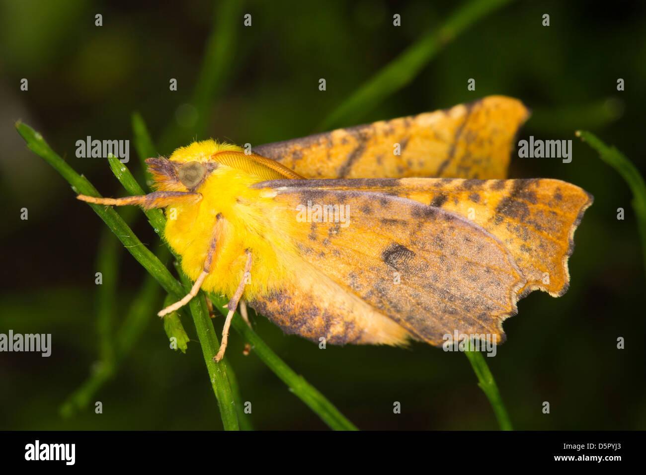 Canary-geschultert Thorn (Ennomos Alniaria) Stockbild