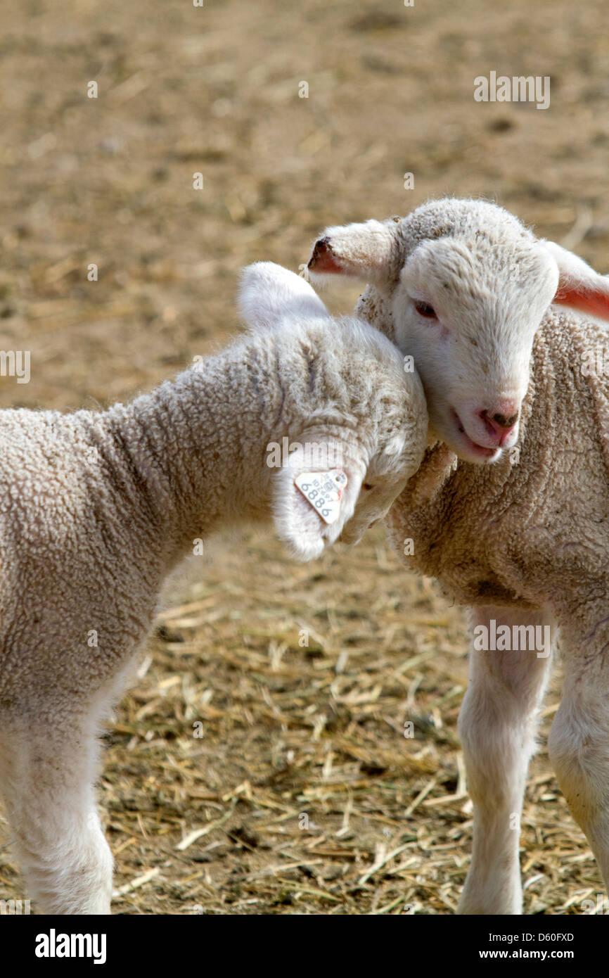 Lämmer auf einer Schaf-Ranch in der Nähe von Emmett, Idaho, USA. Stockbild