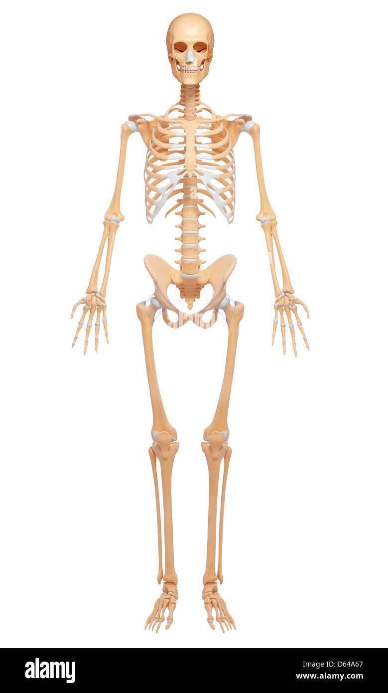 Weibliches Skelett, Kunstwerk Stockbild