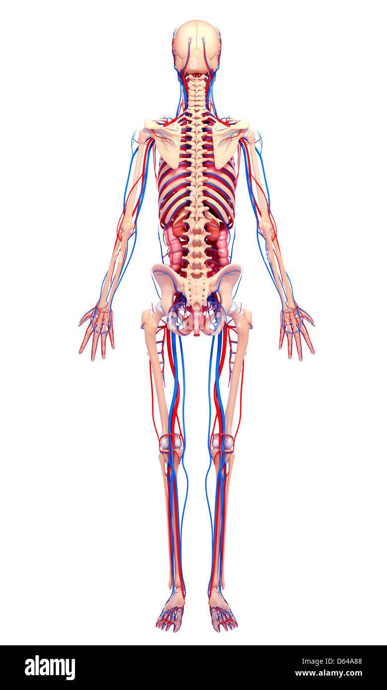 Wunderbar Beckenanatomie Weiblich Bilder - Anatomie Ideen - finotti.info