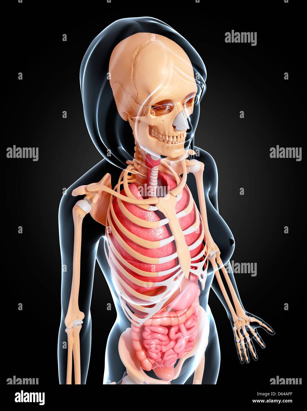 Ungewöhnlich O Weibliche Anatomie Zeitgenössisch - Menschliche ...