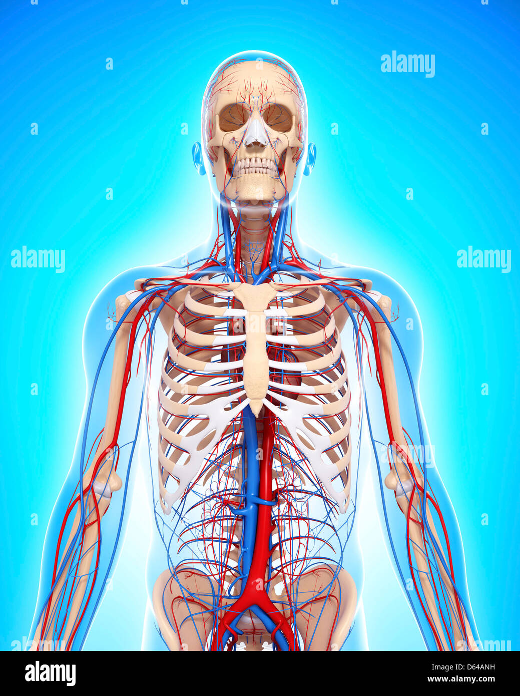 Oberkörper-Anatomie, artwork Stockbild