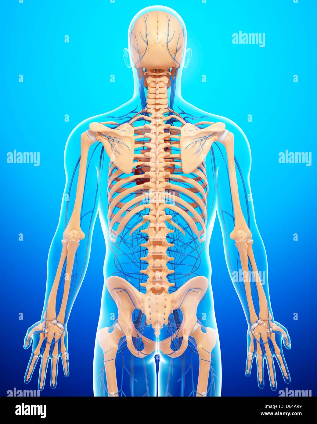 Menschliche Anatomie, artwork Stockfoto, Bild: 55415341 - Alamy