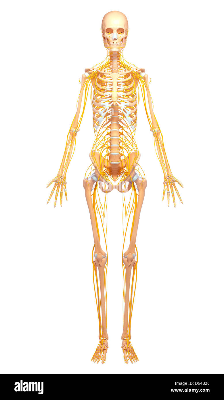 Normal Anatomy Of The Human Body Stockfotos Normal Anatomy Of The