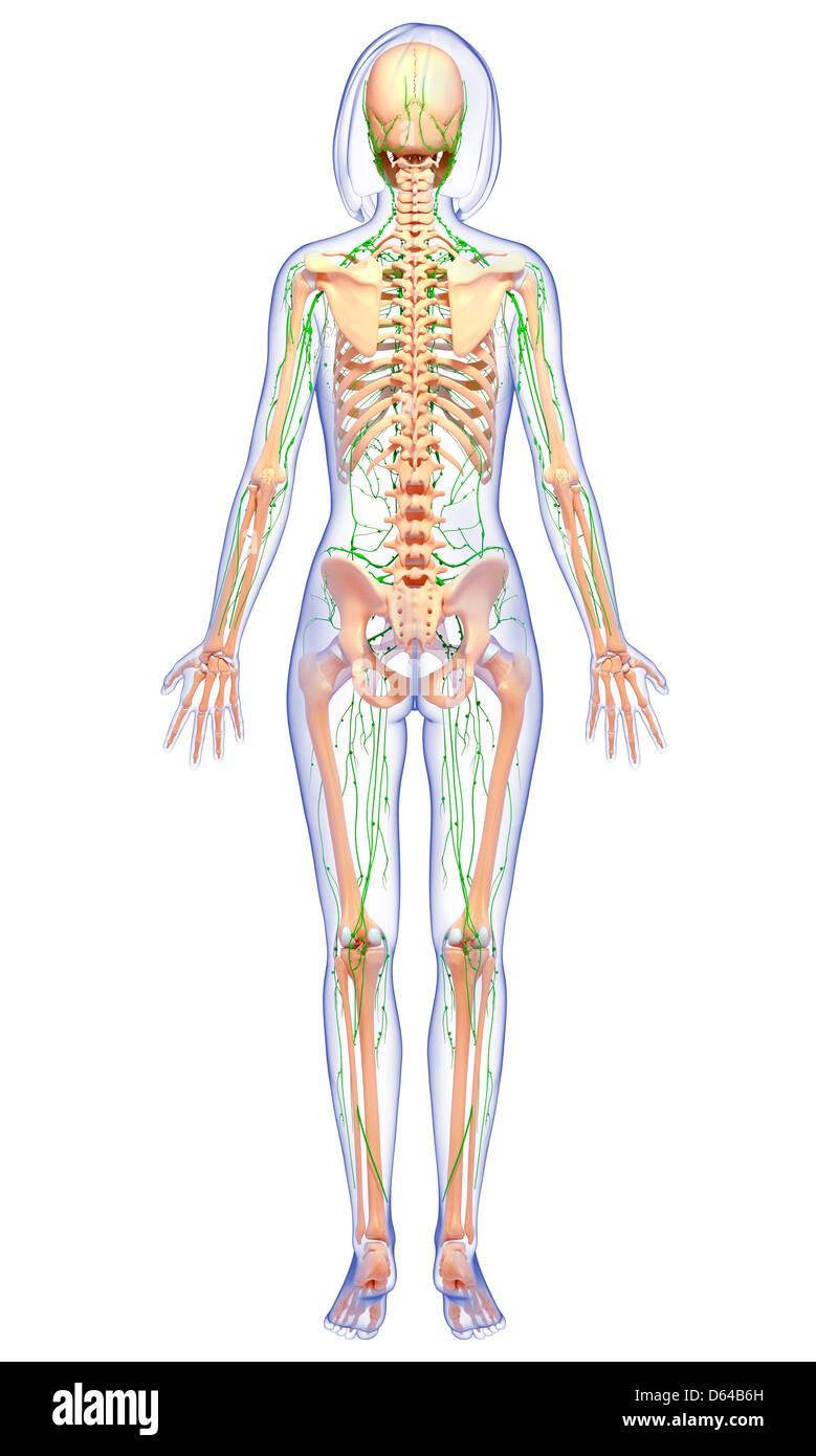 Großartig Waran Anatomie Galerie - Anatomie Und Physiologie Knochen ...