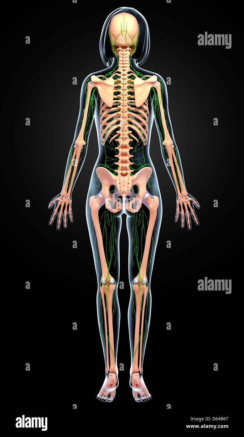 Fein Anatomie Des Weiblichen Fortpflanzungssystems Fotos ...