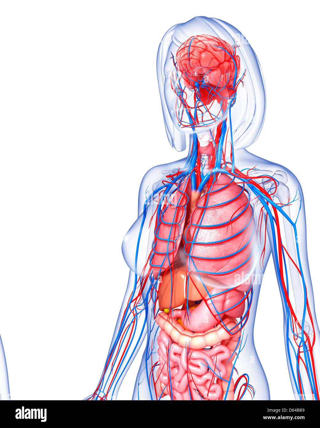 Weibliche Anatomie, artwork Stockfoto, Bild: 55415705 - Alamy