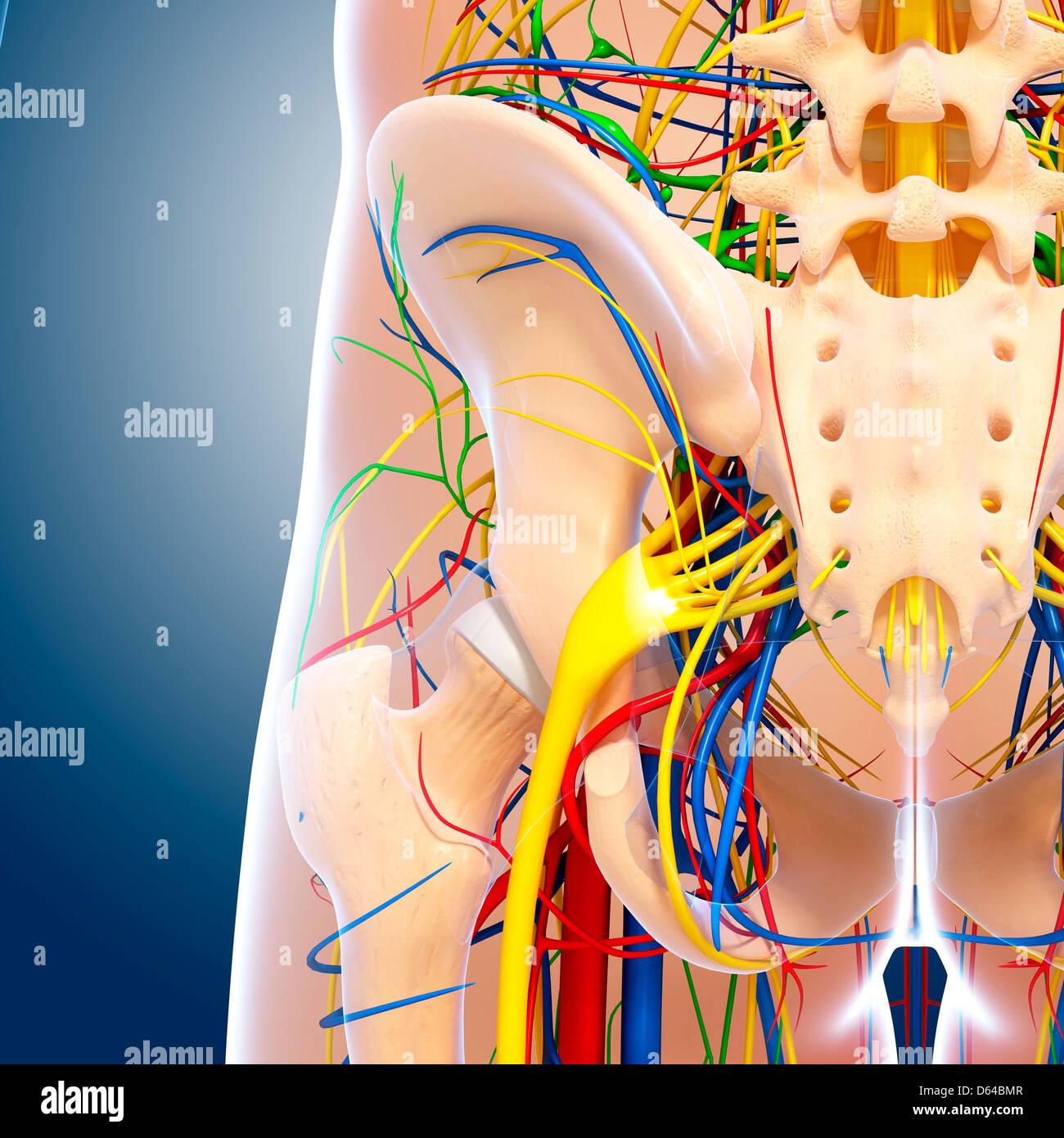 Becken-Anatomie, artwork Stockfoto, Bild: 55416055 - Alamy