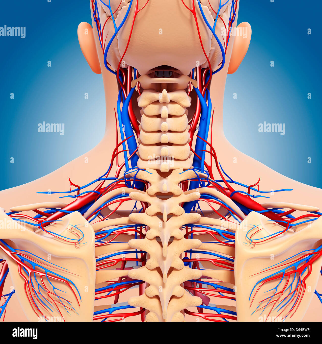Oberkörper-Anatomie, artwork Stockfoto, Bild: 55416186 - Alamy